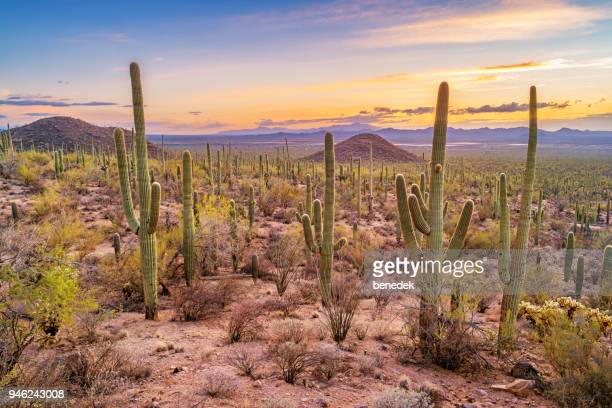 saguaro cactus forest in saguaro national park arizona - saguaro cactus stock pictures, royalty-free photos & images