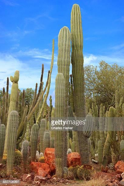 saguaro cactus garden in sonora desert at phoenix - planchas_de_plata,_sonora stock pictures, royalty-free photos & images