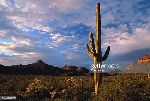 Saguaro cactus in desert at sunrise