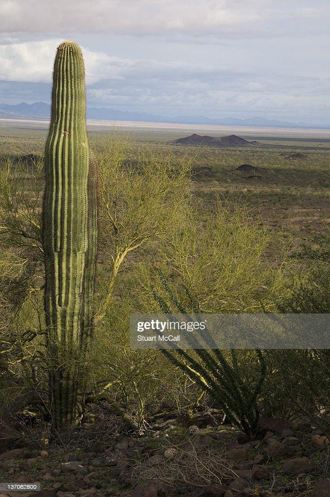 Saguaro cactus in Sonoran Desert : Foto de stock