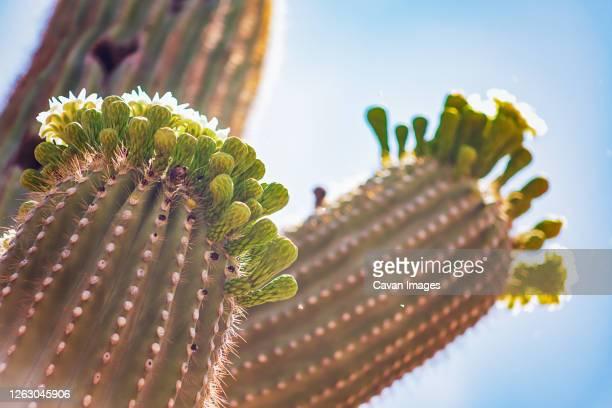 saguaro cactus in the arizona desert - arizona bird stock pictures, royalty-free photos & images