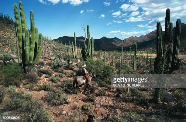 Saguaro cactus near the Mision San Fernando Rey de Espana de Velicata Baja California Mexico