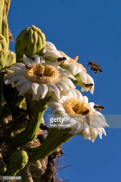 saguaro cactus - mark's stock pictures, royalty-free photos & images