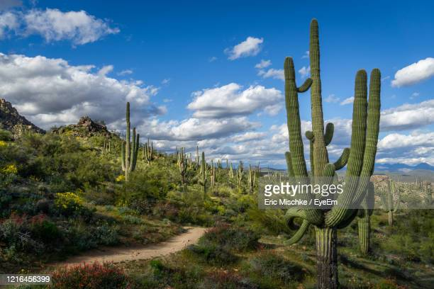 saguaro cactus plants on field with trail against sky - semi arid stock pictures, royalty-free photos & images