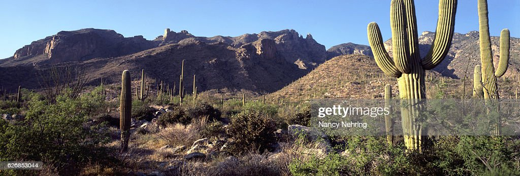 saguaro with morning light in Santa Catalina Mountains, Tucson, Arizona : Stock Photo