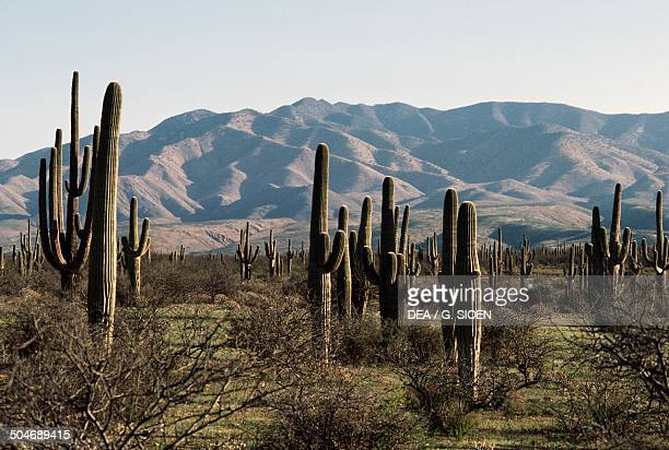 Saguaros , Sonoran Desert, Mexico.