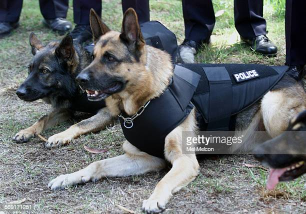 Sagus a 6 year old German Shepherd Police dog wears bullet proof vest while having his picture taken outside of Ventura Police Dept DIGITAL IMAGE...