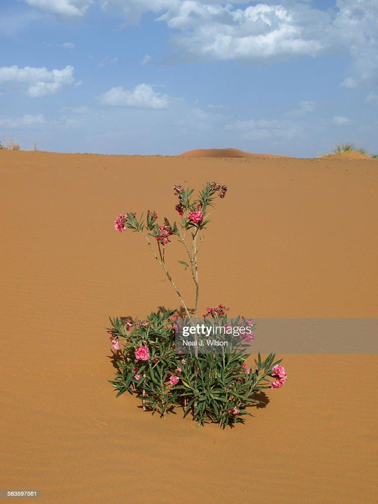 Sahara desert : Stock Photo