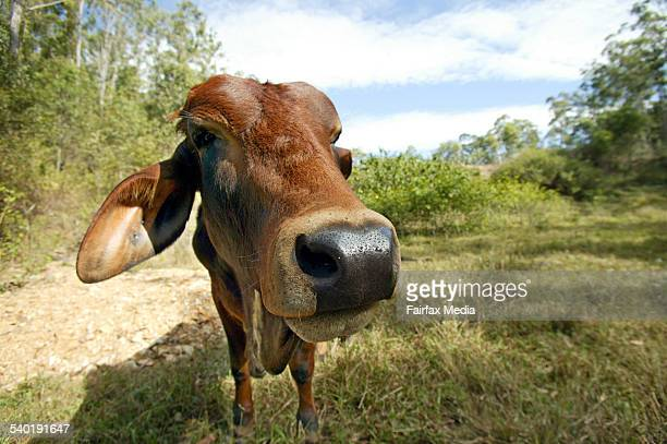 Sahiwal a breed cattle from the punjab region of india/pakistan on farm at wamuran queensland