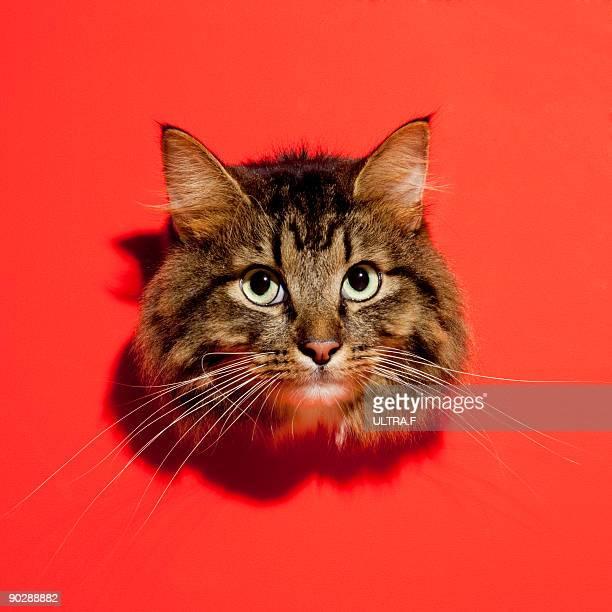 Saiberian cat