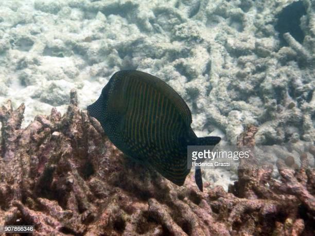 Sailfin surgeonfish (Zebrasoma Desjardinii)