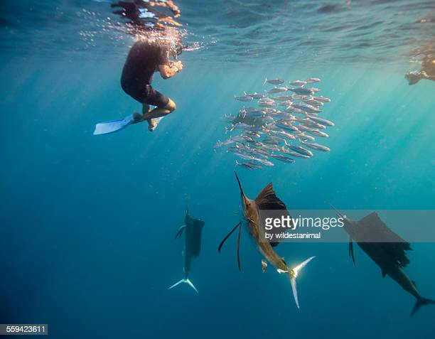 Sailfish And Snorkeler Standoff