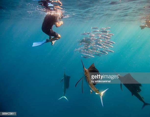 Sailfish And Snorkeler Standoff