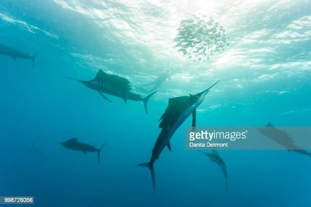 sailfish (istiophorus albicans) feeding on brazilian sardines (sardinella brasiliensis) about 10 miles offshore from isla mujeres, yucatan peninsula, mexico - mujeres fotos imagens e fotografias de stock