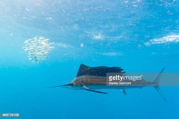sailfish (istiophorus albicans) feeding on brazilian sardines (sardinella brasiliensis) about 10 miles offshore from isla mujeres, yucatan peninsula, mexico - mujeres fotos stockfoto's en -beelden