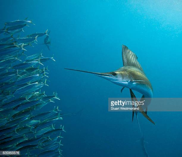 sailfish feeding on brazilian sardines - sailfish stock pictures, royalty-free photos & images