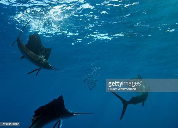 sailfish hunting brazilian sardines - sailfish stock pictures, royalty-free photos & images