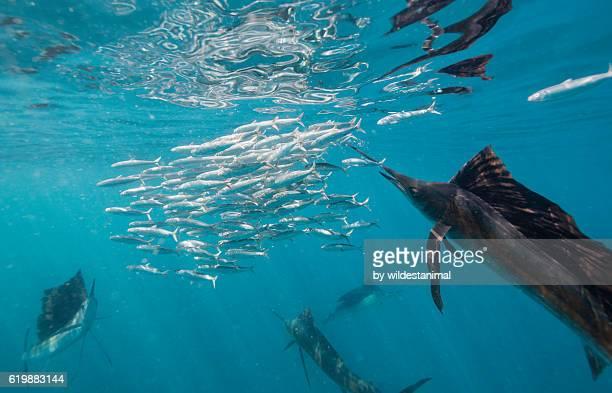 sailfish hunting sardines - sailfish stock pictures, royalty-free photos & images