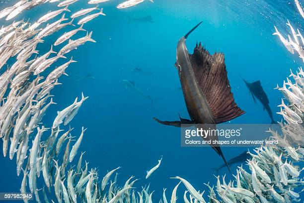 sailfish in a shoal of sardines - sailfish stock pictures, royalty-free photos & images