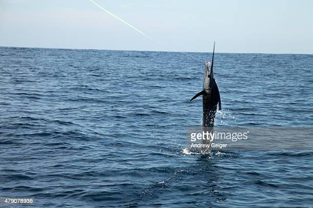 sailfish jumping out of water on fishing line. - sailfish stock pictures, royalty-free photos & images