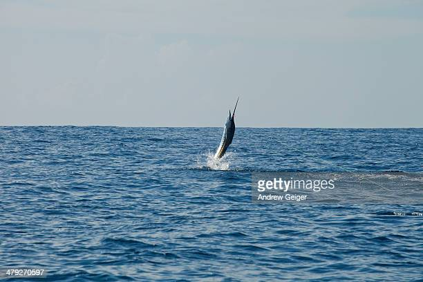 Sailfish jumping out of water.