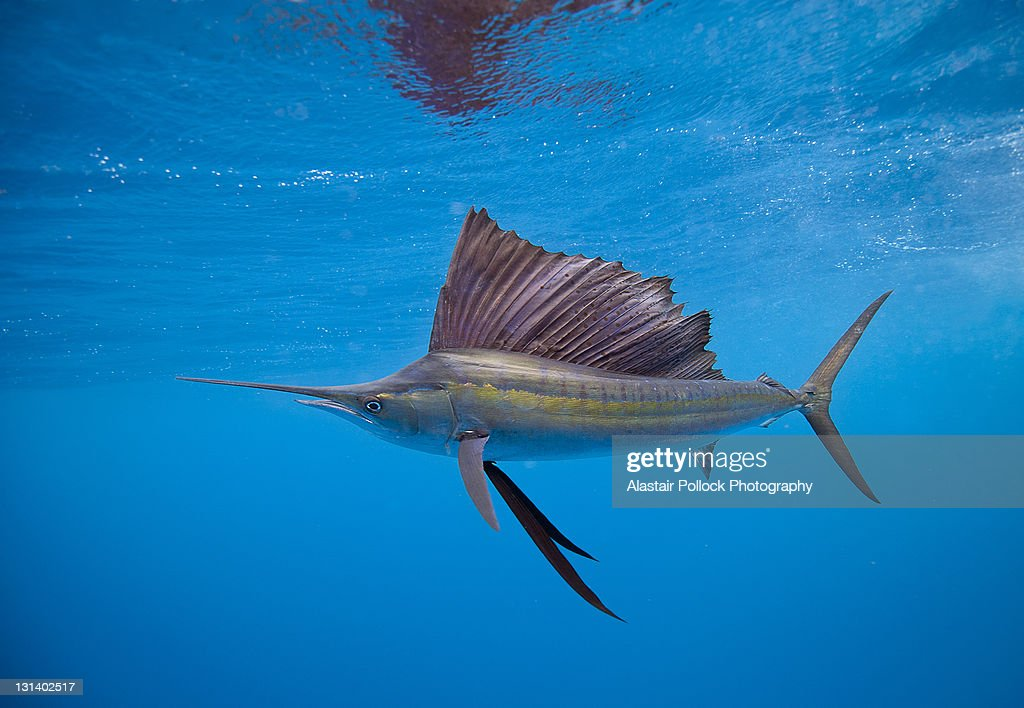 Sailfish Off Isla Mujeres : Stock Photo