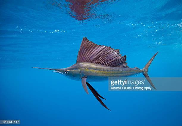 sailfish off isla mujeres - mujeres fotos stockfoto's en -beelden