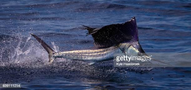 sailfish - sailfish stock pictures, royalty-free photos & images