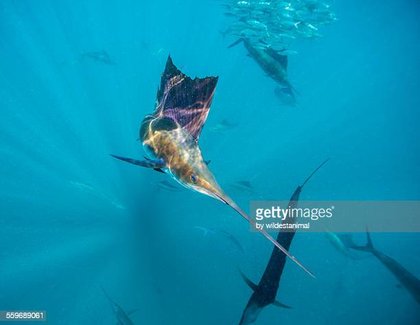 Sailfish Reflections