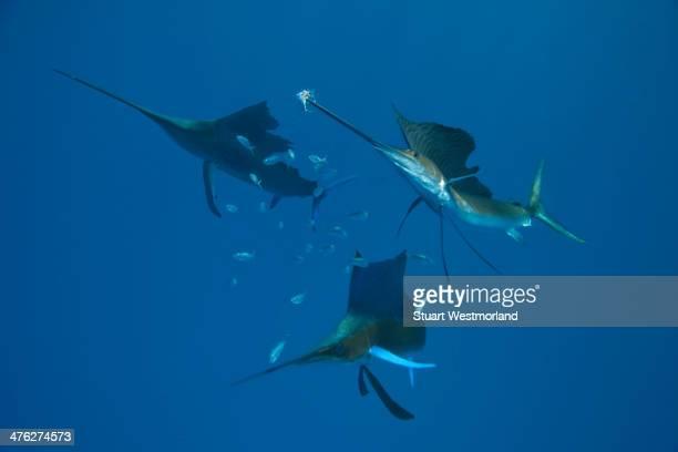 sailfish serendipity - sailfish stock pictures, royalty-free photos & images