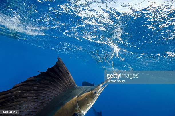sailfishes hunting sardines - sailfish stock pictures, royalty-free photos & images