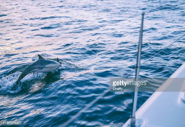 sailing in cape town - dolphin stock pictures, royalty-free photos & images