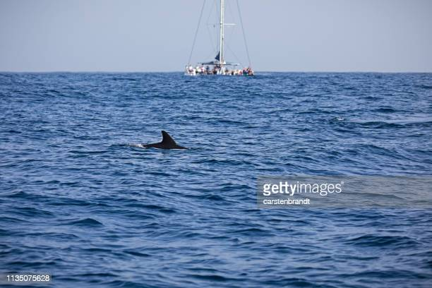 Sailing ship on whale watching with a dolphin