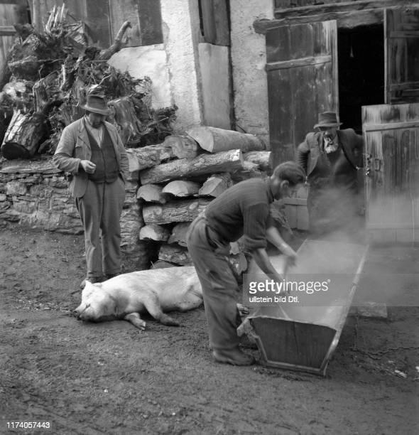 Saillon; Schlachtung eines Schweins zum Neujahr, Abbrühen des Schweins in Trog; 1948