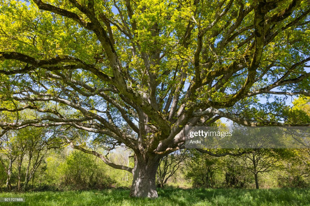 oak tree known as The Liberty Tree, planted during the French Revolution, remarkable tree.