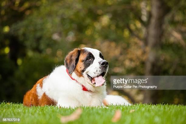 saint bernard dog laying down outdoors - san bernardo fotografías e imágenes de stock