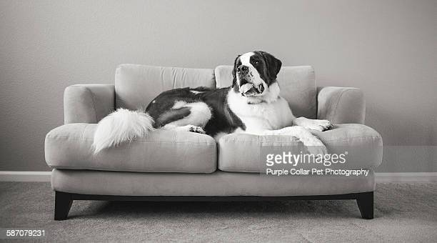 Saint bernard dog relaxing on couch indoors