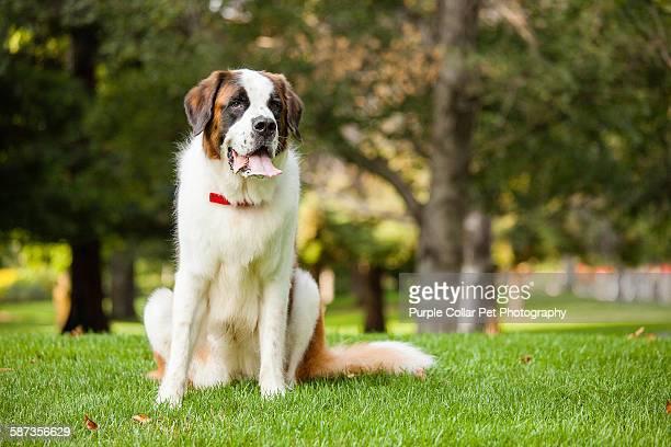 Saint bernard dog Sitting outdoors