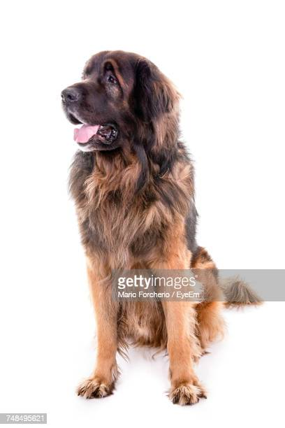 Saint Bernard Dog Sticking Out Tongue Against White Background