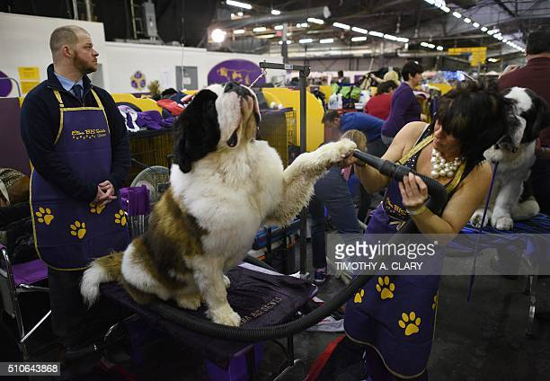 A Saint Bernard is seen in the grooming area February 16 2016 in New York during Day Two of competition at the Westminster Kennel Club 140th Annual...