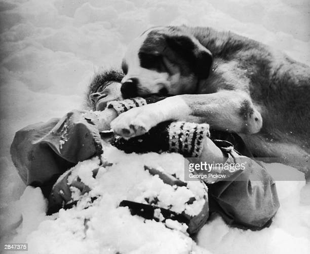 A Saint Bernard learns to rescue an injured traveller by waking him gently then covering him with his body for warmth circa 1955 Based at the Hospice...