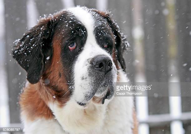 Saint Bernard outside in the snow