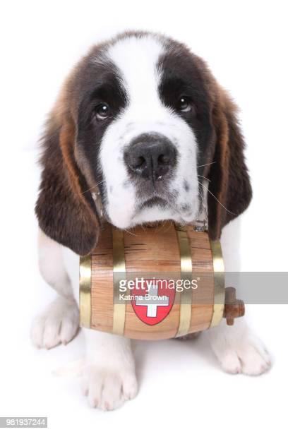 Bernese Mountain Dog Rescue Barrel Petfinder