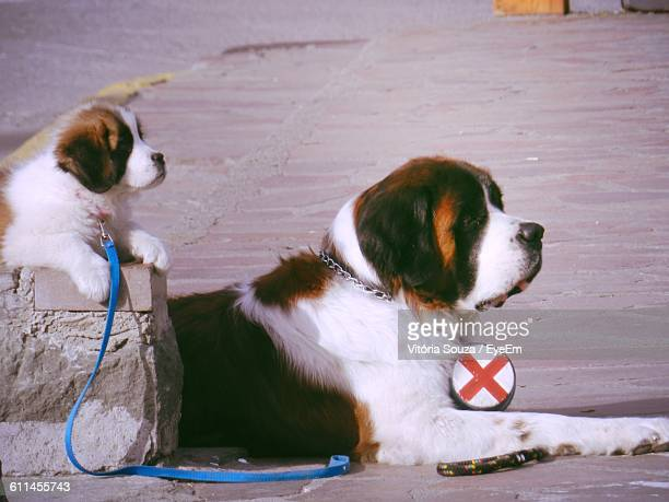 Saint Bernard With Puppy Relaxing On Footpath