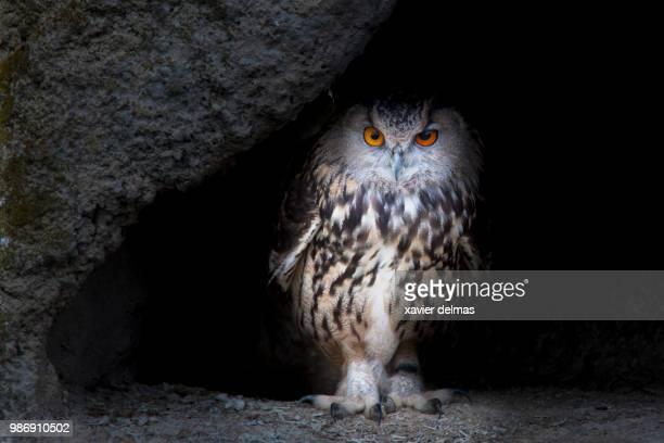 saintes-maries-de-la-mer,france - eurasian eagle owl stock pictures, royalty-free photos & images