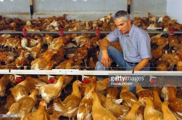 The breeder Patrick Beaumard looks at his Anceny's fattened hens pecking in a confined building 26 October 2005 in SaintMarslaJaille French...