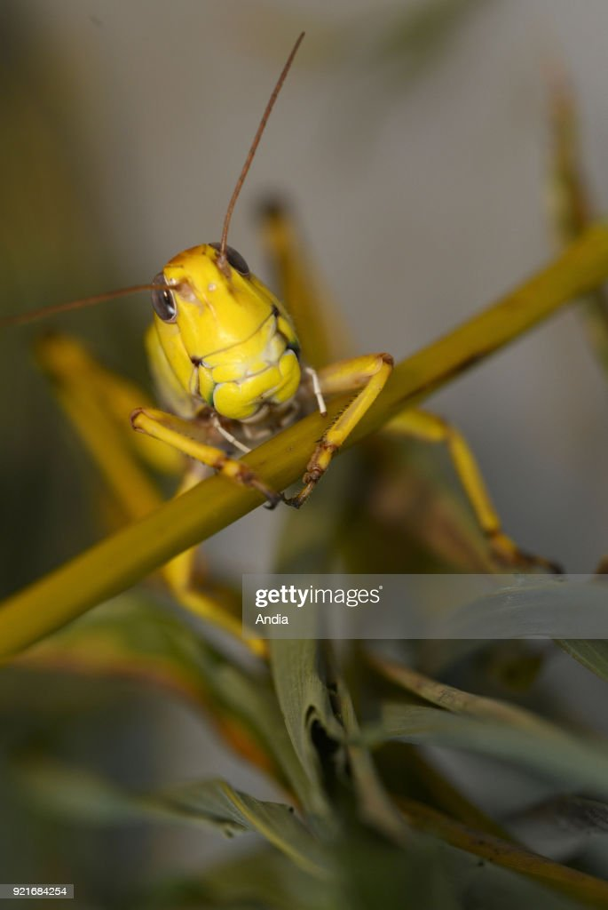 Saint-Martin-le-Chatel (central-eastern France). . Edible migratory locusts (Locusta migratoria), protein rich living grasshoppers.