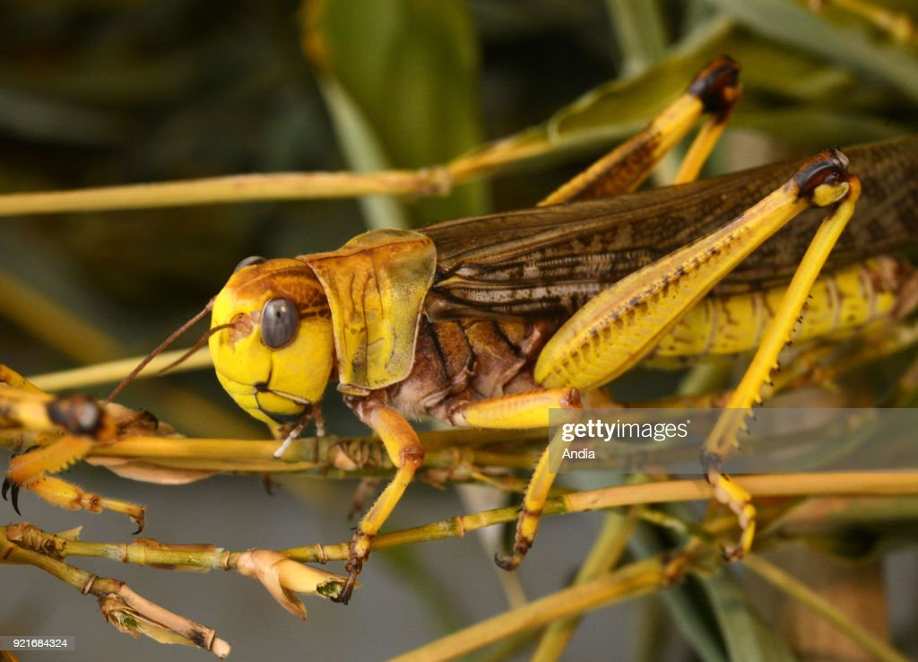 Migratory locust farm. : News Photo