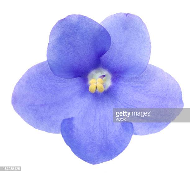 saintpaulia - african violet stock photos and pictures