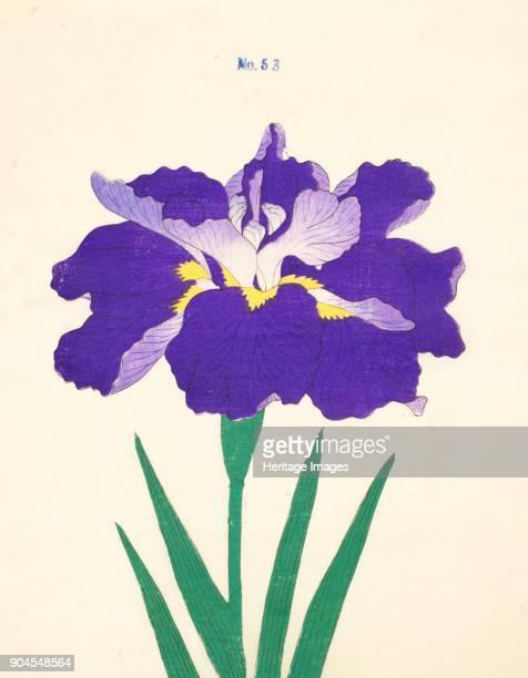 SaiwogaUma no 53 From the catalogue of The Yokohama Nursery Co Ltd of Seitaro Arai which specialised in Iris kaempferi Japanese Iris all native to...